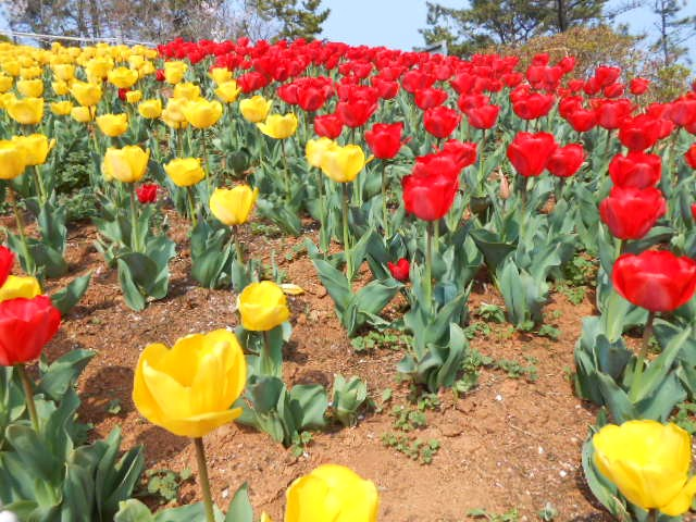 Korea Spring Flower Festivals March May 2016 1adventure Traveler